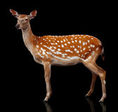 Spotty deer. Is isolated on black Stock Photography