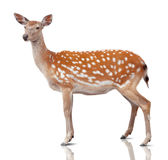 Spotty deer. Is isolated on white Stock Image