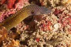 Spotty eel Royalty Free Stock Image