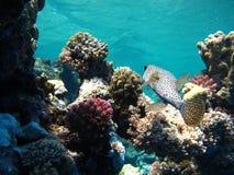 The Spotty Fish Royalty Free Stock Photos