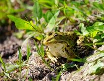 Spotty frog Stock Photography