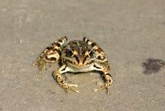 Spotty frog Royalty Free Stock Photos