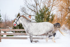 Spotty gray thoroughbred horse runs on a ranch Stock Photo
