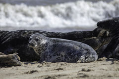 Spotty Grey Seal Stock Afbeeldingen