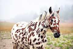 Spotty horse Stock Photography