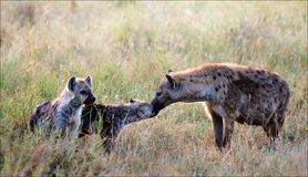 Spotty hyena with cubs. Royalty Free Stock Photography