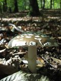 Spotty inedible mushroom_1 Stock Photography