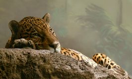 Spotty jaguar. Sometimes sadly to look at inhabitants of a zoo Stock Images