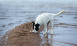 Spotty mongrel smells sand on the seashore. Royalty Free Stock Image