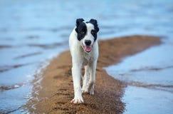 Spotty mongrel walks along sand spit on the seashore. Stock Image