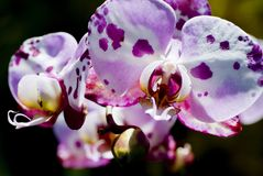 Spotty Orchid Royalty Free Stock Photos