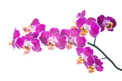 Spotty orchid isolated on the white Royalty Free Stock Images