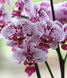Spotty orchids outdoors Stock Images