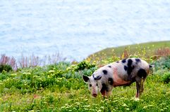 A spotty pig in wildflowers. A spotty a pig in field colors on a background of the sea Royalty Free Stock Image