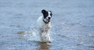 Spotty puppy of mongrel running on water. Stock Photo