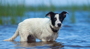Spotty puppy of mongrel standing in water on the seashore. Royalty Free Stock Photography