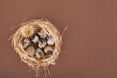 Spotty quail eggs in a nest. Spotty quail eggs in a straw nest on brown background Stock Photography