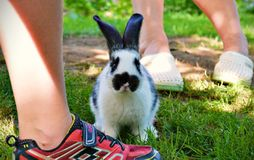 Spotty rabbit trying to jump the leg. Soon big rabbit is really courteous and sitting like dog. Amazing animal Royalty Free Stock Photography