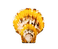 Spotty scallop. Royalty Free Stock Photo