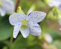 Spotty Viola royalty free stock image