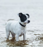 Spotty watchdog standing in water on the seashore. Stock Photos