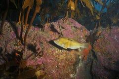 Spotty wrasse under kelp canopy Royalty Free Stock Photos
