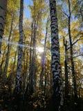 Spotykający jesień ranek w brzoza gaju zdjęcie royalty free