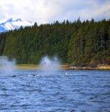 Spouting китов Стоковое фото RF