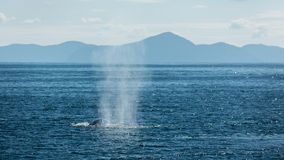 Spouting Humpbacks Royalty Free Stock Photos