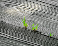 Spouts breaking through. Sprouts of leaves break through the cracks of a wooden walkway Royalty Free Stock Images