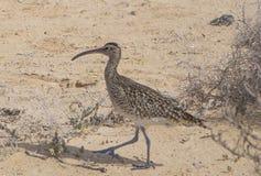 Spov som går på stranden i Corralejo Royaltyfri Foto