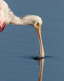 Spponshaped beak of the roseate spoonbill Stock Photos