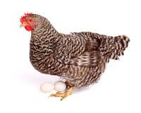 Spräcklig höna med ägg Royaltyfria Bilder