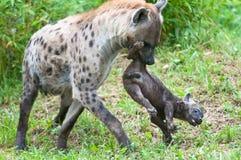 Spräcklig hyena med valpen Royaltyfria Bilder