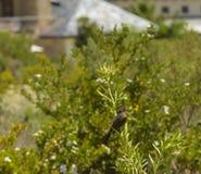 Spräcklig mousebird, Colius striatus Royaltyfri Bild