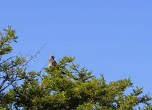 Spräcklig mousebird, Colius striatus Royaltyfria Bilder