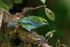 Spräcklig Tanager i Costa Rica Arkivfoton