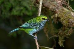 Spräcklig Tanager i Costa Rica Arkivbilder