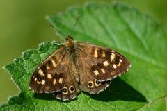 Spräcklig träfjärilsPararge aegeria med öppna vingar som vilar på ett blad i solen arkivfoton