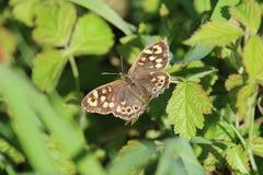 Spräcklig Wood fjäril (den Pararge aegeriaen) Royaltyfria Bilder
