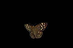 Spräcklig wood fjäril på svart royaltyfri fotografi