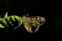 Spräcklig wood fjäril, Pararge eageria Arkivfoto