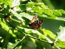 Spräcklig wood fjäril som vilar på bladvåren Arkivbild