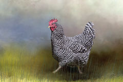 Spräckliga Hen Walking till och med gräs Royaltyfria Foton