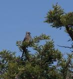 Spräckliga Mousebird, med blå himmel Royaltyfri Foto