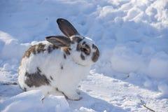 Spräckligt kaninsammanträde i snöig trädgård Royaltyfria Bilder