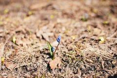Sprössling der Krokusblume vom Boden lizenzfreie stockfotos
