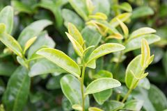 Sprössling des grünen Tees mit Wasser auf Blättern Stockbild