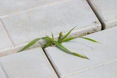 Sprössling des Grases in der Plasterung Stockfotos