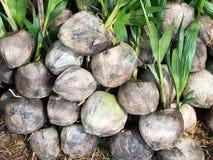 Sprössling des Kokosnussbaumknalls aus der Kokosnuss heraus Lizenzfreies Stockbild